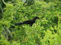 Oiseau noir Photographie stock libre de droits