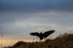 Oiseau noir Image stock