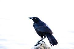Oiseau noir photos libres de droits