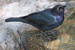 Oiseau noir commun Images libres de droits