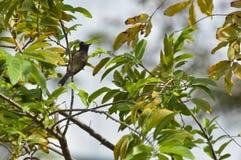 Oiseau noir de bulbul Image libre de droits