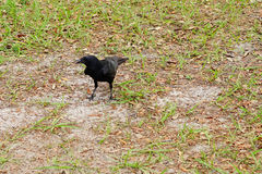 Oiseau noir de corneille Image libre de droits