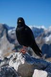 Oiseau noir de montagne Images stock