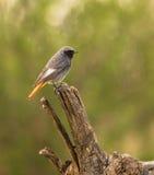 Oiseau noir de Redstart sur le log images libres de droits