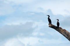 Oiseau noir en Bolivie (fleuve de Pampas - d'Amazone) Image libre de droits