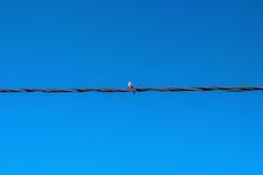 Oiseau noir et blanc d'isolement sur le fil en métal en ciel bleu Image libre de droits