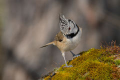 Oiseau noir et blanc dans la faune Photographie stock libre de droits