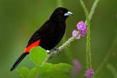 Oiseau noir et rouge de chanson Fleur rose Passerinii de Tanager, de Ramphocelus d'écarlate-rumped, forme rouge et noire tropical image libre de droits