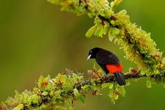 Oiseau noir et rouge de chanson Passerinii de Tanager, de Ramphocelus d'écarlate-rumped, forme rouge et noire tropicale exotique  images libres de droits