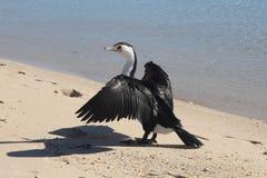 Oiseau noir ouvrant ses ailes pour sécher avec la lumière du soleil images stock