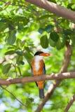 oiseau Noir-recouvert de pêcheur de roi Images libres de droits