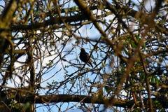 Oiseau noir se reposant sur une branche d'arbre Photos stock