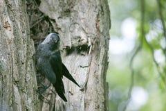 Oiseau noir sur le tronc Photo stock