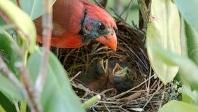 Oiseau nouveau-né avec un ver dans sa bouche avec le père observant plus de Photos stock