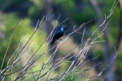 Oiseau observé brillant bleu Photographie stock
