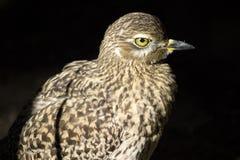 Oiseau observé par jaune Photos libres de droits