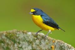 Oiseau oiseau exotique Jaune-throated d'euphoniums, d'euphoniums, de bleu et de jaune de Costa Rica de forêt de hirundinacea du C images libres de droits