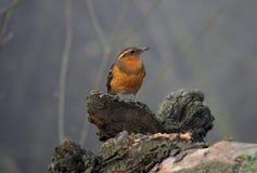 Oiseau orange Image libre de droits