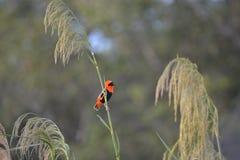 Oiseau orange Photos libres de droits