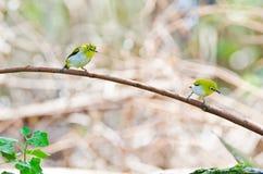 Oiseau oriental de Blanc-oeil (palpebrosus de Zosterops) Image libre de droits