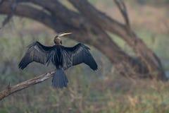 Oiseau ou Darter de serpent à la réserve d'oiseaux de Bharatpur, Ràjasthàn, Inde photo libre de droits