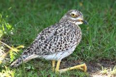 Oiseau ou dikkop repéré d'épais-genou images stock