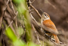 oiseau Pâle-à jambes de Hornero Photographie stock libre de droits