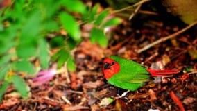 Oiseau, parrotfinch à tête rouge photographie stock