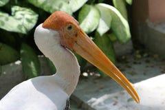 Oiseau peint de cigogne Photographie stock
