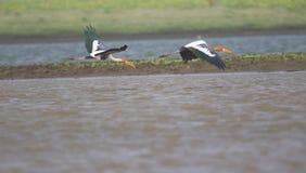 Oiseau peint de cigogne Photo stock