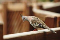 Oiseau --- pigeon crêté gris Image libre de droits