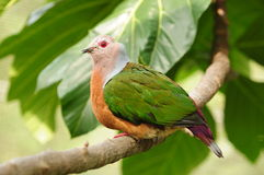 Oiseau --- Pigeon impérial de Pinon Image libre de droits