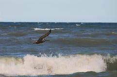 Oiseau pilotant la vague ci-dessus Image stock
