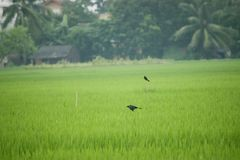 oiseau pilotant le drongo noir avec les ailes répandues en air au-dessus de vert Image libre de droits
