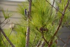 Oiseau, pivert duveteux sur la branche de pin Photos libres de droits