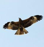 Oiseau prédateur photo stock