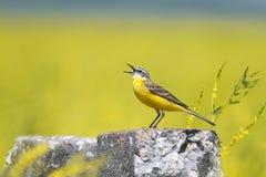 Oiseau que la hochequeue jaune chante parmi les fleurs sur un pré ensoleillé pendant l'été Photos libres de droits