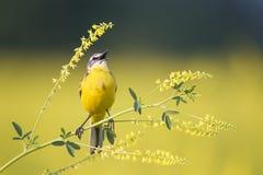 Oiseau que la hochequeue jaune chante parmi les fleurs sur un pré ensoleillé pendant l'été Image stock