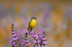 Oiseau que la hochequeue jaune chante sur un pré dans le jour d'été Photographie stock libre de droits