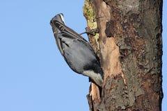 Oiseau regardant dans un Knothole images libres de droits