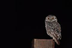 Oiseau repéré d'owlet photographie stock libre de droits