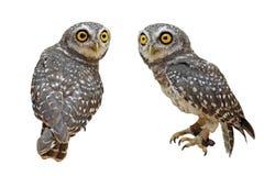 Oiseau repéré de brama de jeune hibou ou d'athene photographie stock libre de droits