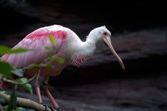 Oiseau rose de spatule Image libre de droits
