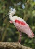 Oiseau rose de spatule Images libres de droits