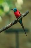 Oiseau rouge Images libres de droits