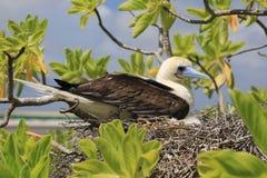 oiseau Rouge-aux pieds d'idiot avec un poussin dans le nid Image stock