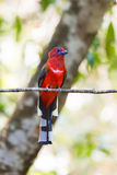 Oiseau rouge avec la queue noire et blanche de barre étant perché sur la branche Photo stock