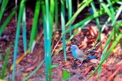 Oiseau rouge-cheeked de cordon bleu Images libres de droits