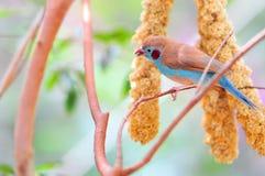 Oiseau rouge-cheeked de cordon bleu dans la volière Photographie stock