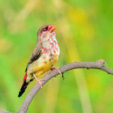 Oiseau rouge d'Avadavat Photos stock